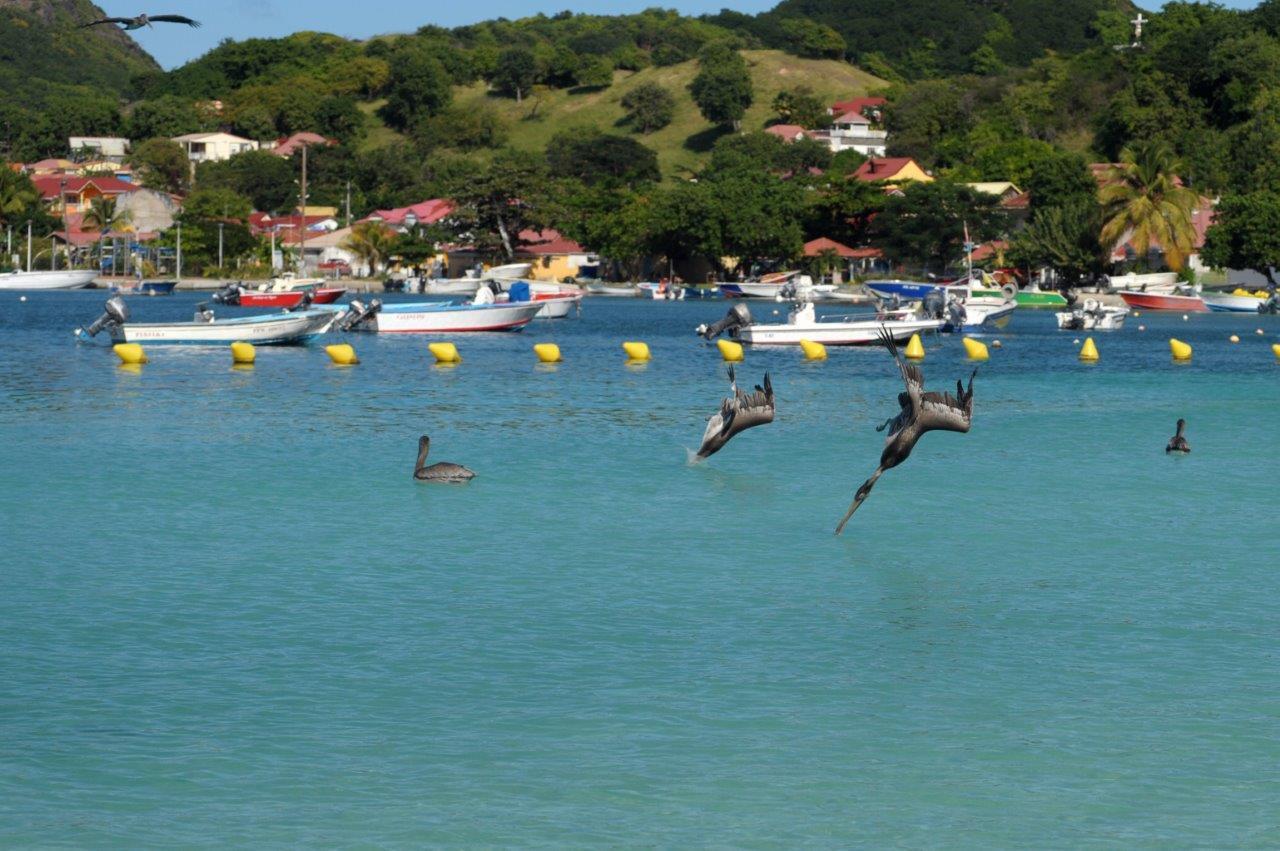 Loacation vacances gite les saintes terre de haut Pélicans nikon dec 2014 (11)